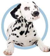 circlepic - dalmatianFindingPurebreds