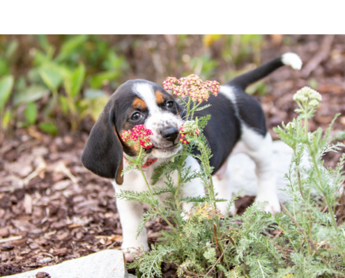 puppy sniffing a flower